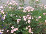 Rose 'Nearly Wild'