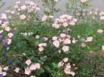 Rose 'Nearly Wild'