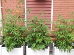 Tomato garden in pots