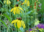 Ratibida pinnata (prairie coneflower)
