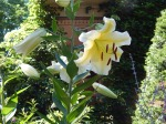 Lily 'Honeymoon' (Lilium)