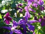 "Clematis ""Polish Spirit"""