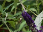 butterfly bush visitor
