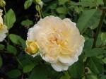 molineux rose
