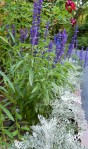 Blue Salvia and Dusty Miller