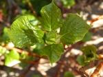 Climbing Hydrangea bud