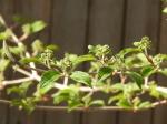 Buds on the viburnum