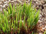 Iris growing