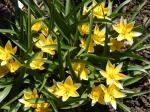 Species Tulip (Tulipa tarda)