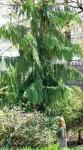 "Alaskan weeping cedar (Chamaecyparis nootkatensis ""Pendula"")"