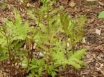 Sensitive fern starting