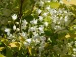 Deutzia gracilis 'Duncan' CHARDONNAY PEARLS