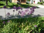 more allium