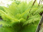 the ferns are huge this year
