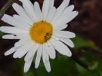 Shasta Daisy, Leucanthemum × superbum