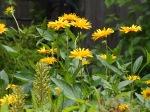 Hardy Sunflower, Heliopsis helianthoides