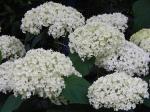 Hydrangea ,  Hydrangea arborescens 'Annabelle'
