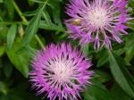 Centaurea montana 'Purpurea' purple cornflower