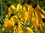 Ratibita pinnata (Prairie Coneflower)