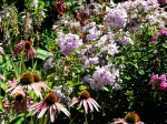 Phlox, Purple coneflower,