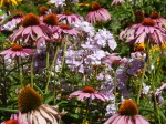phlox and coneflower